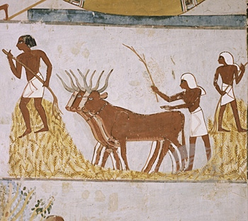 ancient egyptian agriculture Ancient egyptian agriculture there are many valid points to be made in ancient egyptian agriculture irrigation, ploughing and planting, harvesting, and of course, crops.